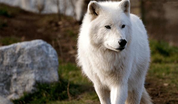 Фото: Полярный волк