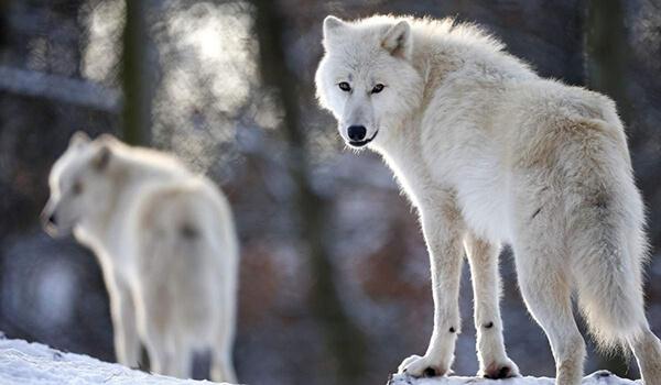 Фото: Семья полярных волков