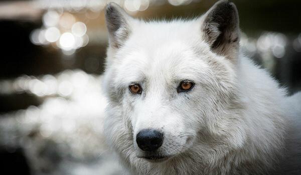 Фото: Полярный волк в тундре