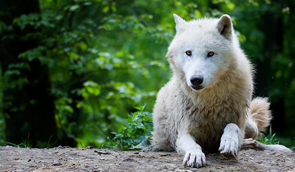 Фото: Как выглядит полярный волк