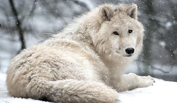 Фото: Большой полярный волк