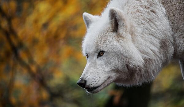 Фото: Белый полярный волк