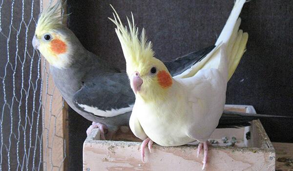 Фото: Самка и самец кореллы