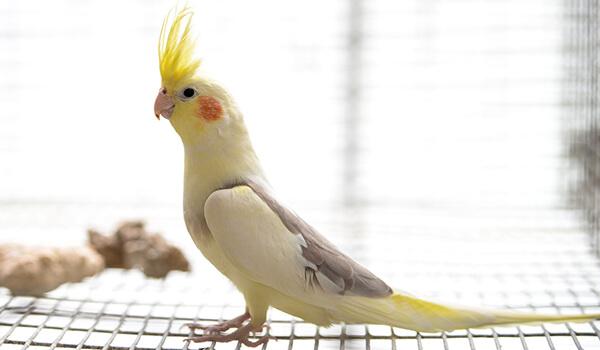 Фото: Самка попугая корелла