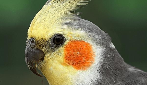 Фото: Говорящий попугай корелла