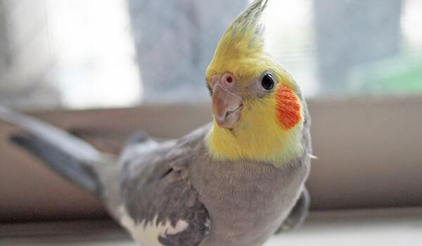 Фото: Попугай корелла