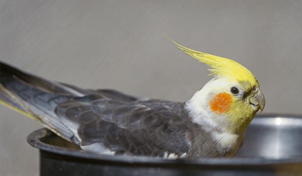 Фото: Птица корелла