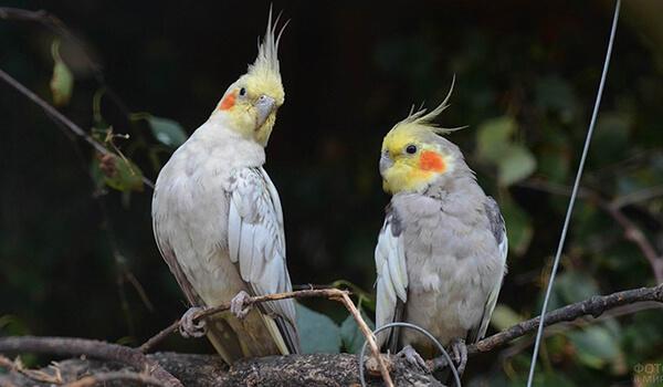 Фото: Попугаи корелла