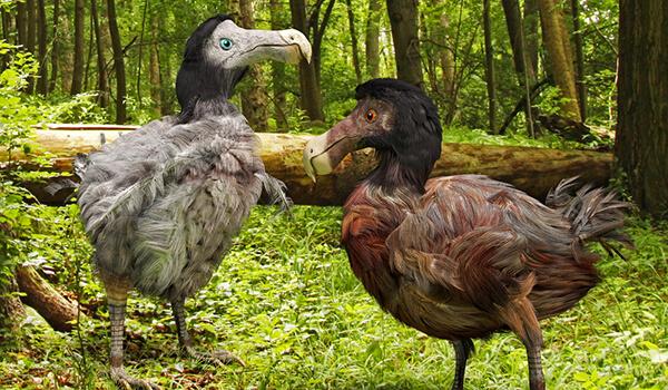 Фото: Птицы додо Маврикий