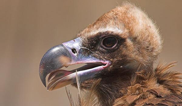 Фото: Птица додо