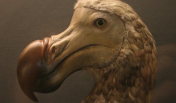 Фото: Вымершая птица додо