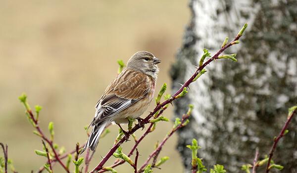 Фото: Птица коноплянка