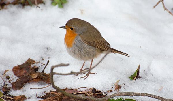 Фото: Зарянка зимой