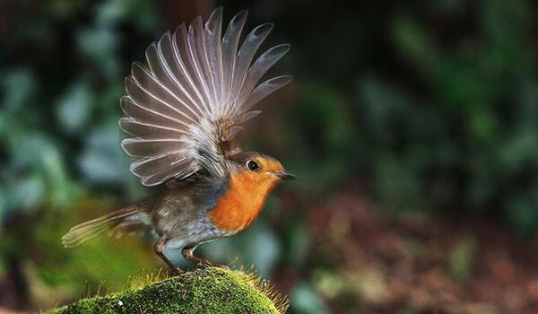 Фото: Птица зарянка