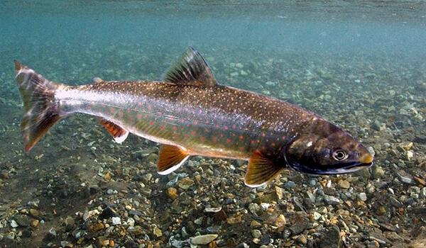 Фото: Рыба голец из Красной книги
