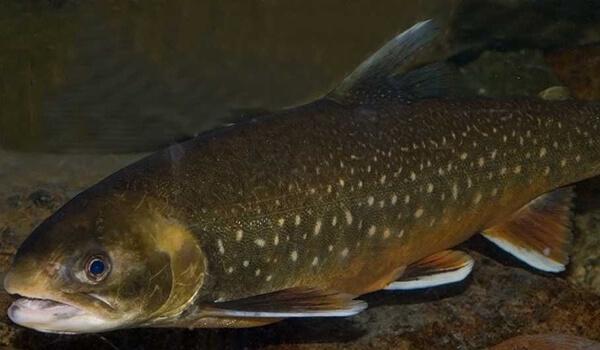Фото: Красная рыба голец