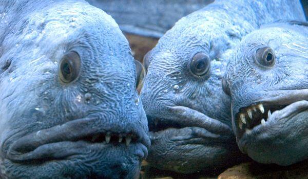 Фото: Северная рыба зубатка