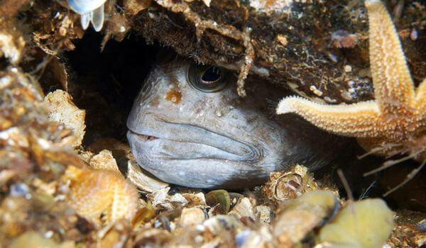 Фото: Рыба зубатка в море