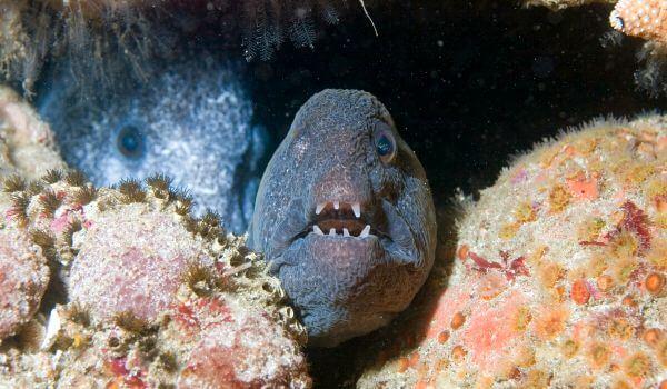 Фото: Рыба зубатка в России