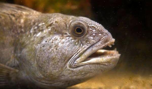 Фото: Рыба зубатка в воде