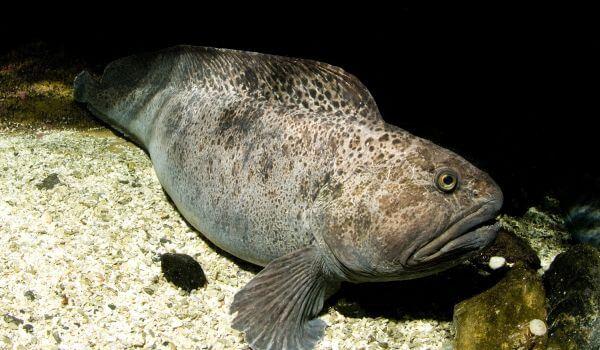 Фото: Рыба зубатка