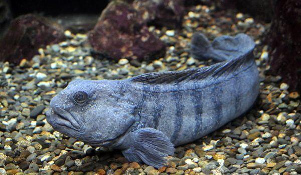 Фото: Морская рыба зубатка