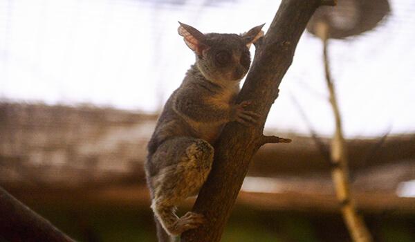 Фото: Сенегальский галаго в природе