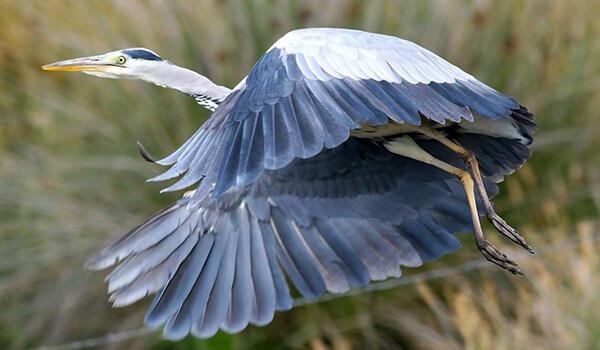 Фото: Серая цапля в природе