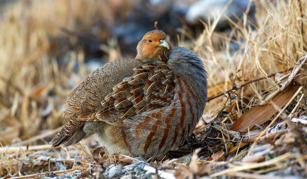 Фото: Серая куропатка зимой