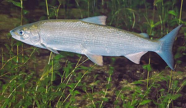 Фото: Как выглядит рыба сиг
