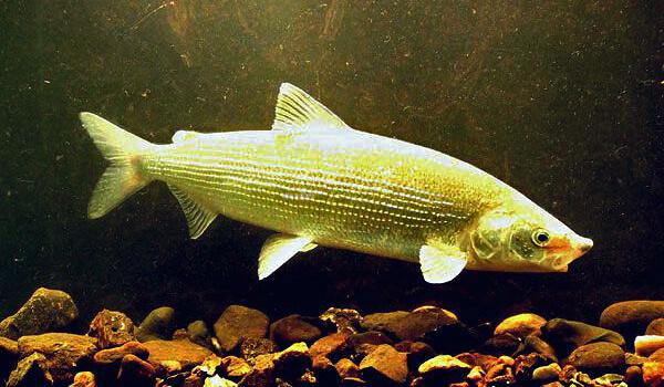 Фото: Речная рыба сиг