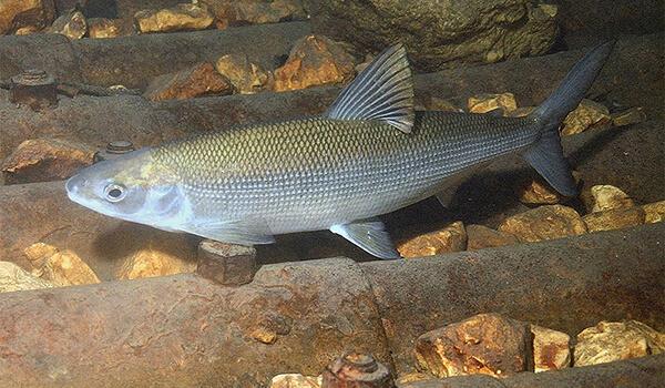 Фото: Рыб сиг