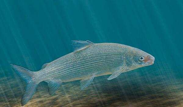 Фото: Рыба сиг под водой