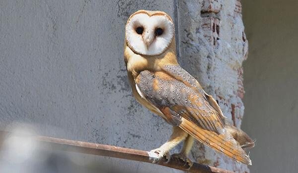 Фото: Птица сипуха