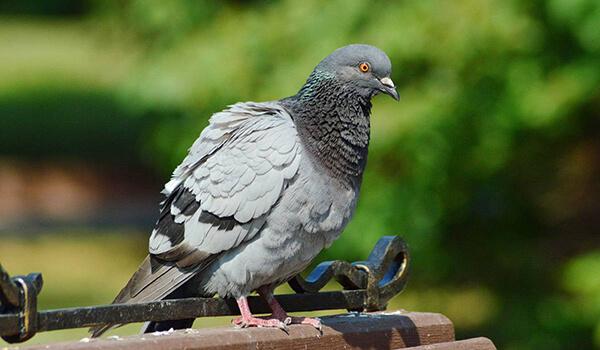 Фото: Как выглядит сизый голубь