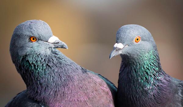 Фото: Пара голубей