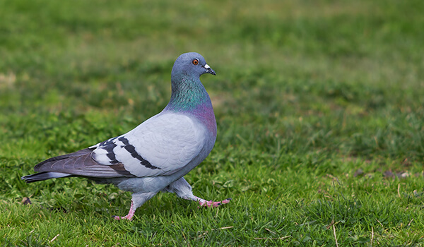 Фото: Птица сизый голубь
