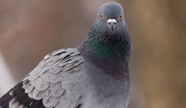 Фото: Сизый голубь в России
