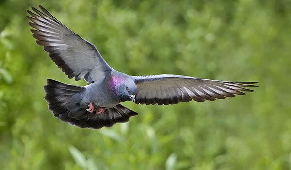 Фото: Сизый голубь в полёте