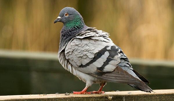 Фото: Сизый голубь