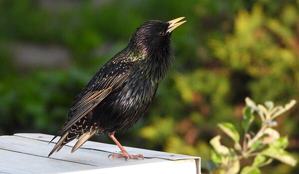 Фото: Птица скворец