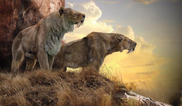 Фото: Саблезубые тигры смилодон