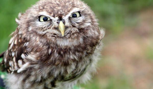 Фото: Карликовая сова сплюшка