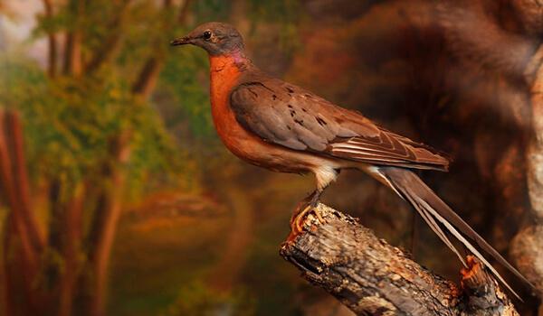 Фото: Вымерший странствующий голубь