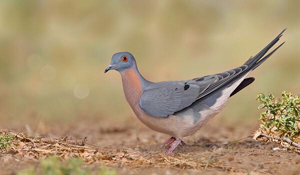 Фото: Как выглядит странствующий голубь