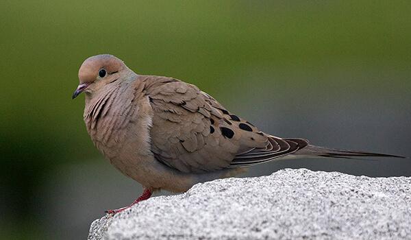 Фото: Птица странствующий голубь