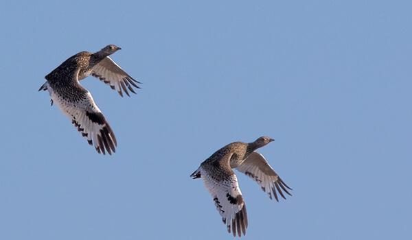 Фото: Стрепеты в полете