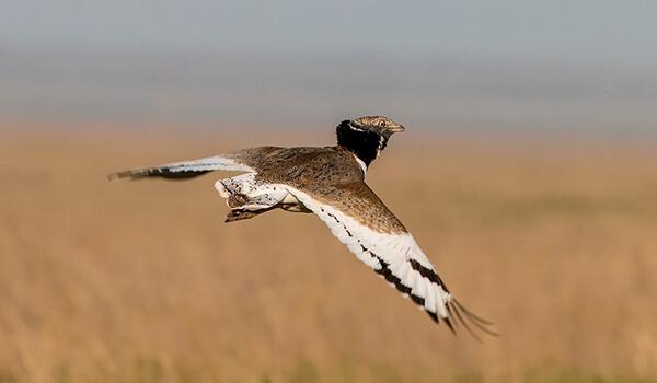 Фото: Птица стрепет