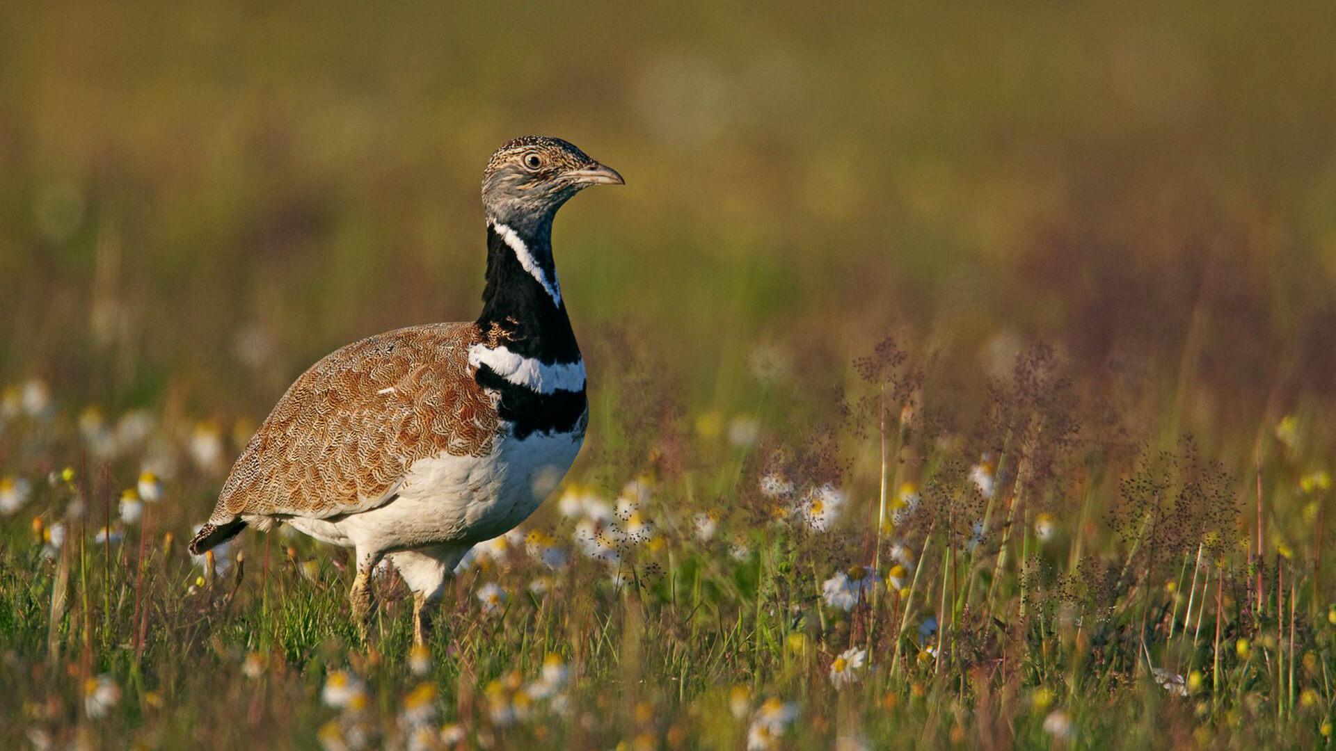 пташка стрепет картинки зачастую подъем температуры