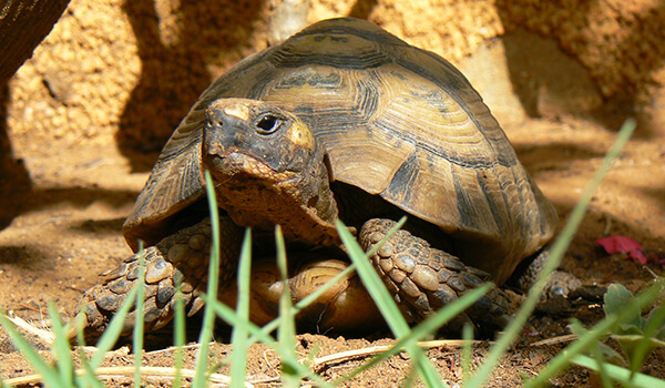 Фото: Сухопутная черепаха